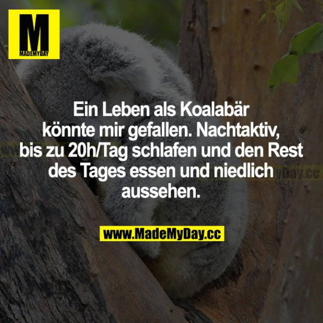 Ein Leben als Koalabär könnte mir gefallen. nachtaktiv, bis zu 20h/Tag schlafen und den Rest des Tages essen und niedlich aussehen.
