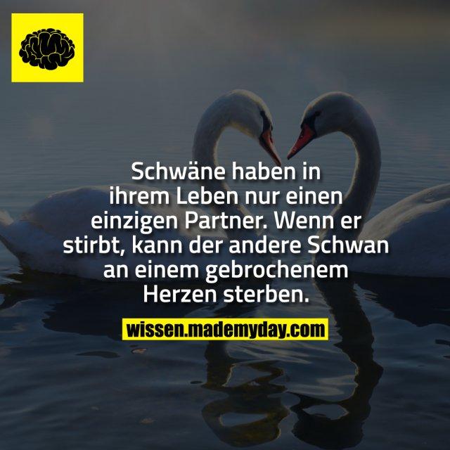 Schwäne haben in ihrem Leben nur einen einzigen Partner.<br /> Wenn er stirbt, kann der andere Schwan an einem gebrochenem Herzen sterben.