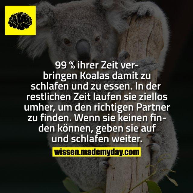 99 % ihrer Zeit verbringen Koalas damit zu schlafen und zu essen. In der restlichen Zeit laufen sie ziellos umher, um den richtigen Partner zu finden. Wenn sie keinen finden können, geben sie auf und schlafen weiter.