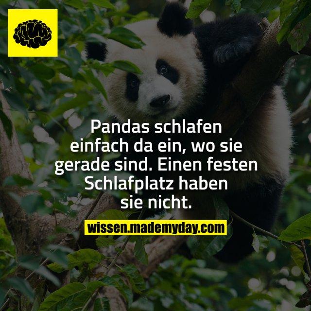 Pandas schlafen einfach da ein, wo sie gerade sind. Einen festen Schlafplatz haben sie nicht.