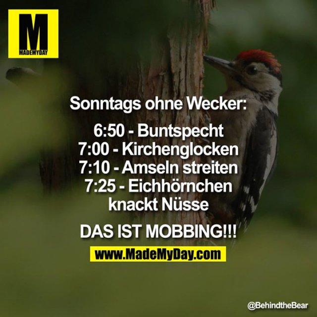 Sonntags ohne Wecker:<br /> <br /> 6:50 - Buntspecht<br /> 7:00 - Kirchenglocken<br /> 7:10 - Amseln streiten<br /> 7:25 - Eichhörnchen knackt Nüsse<br /> <br /> DAS IST MOBBING!!!