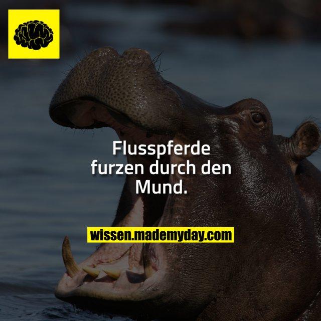 Flusspferde furzen durch den Mund.