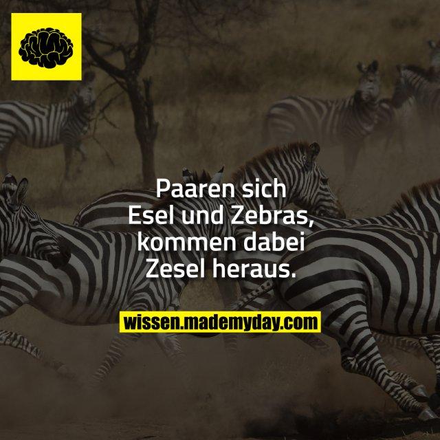 Paaren sich Esel und Zebras, kommen dabei Zesel heraus.
