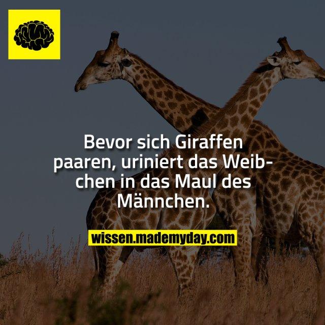 Bevor sich Giraffen paaren, uriniert das Weibchen in das Maul des Männchen.