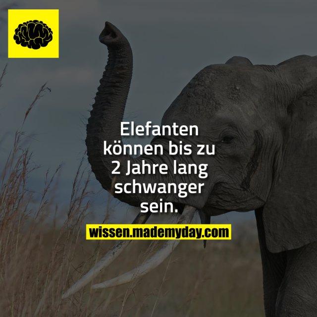 Elefanten können bis zu 2 Jahre lang schwanger sein.