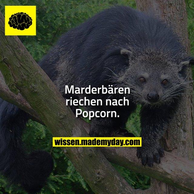 Marderbären riechen nach Popcorn.