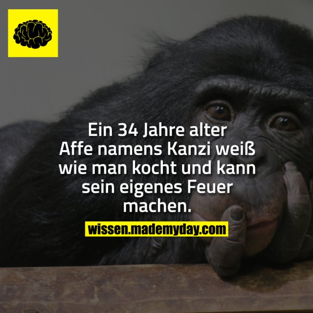 Ein 34 Jahre alter Affe namens Kanzi weiß wie man kocht und kann sein eigenes Feuer machen.