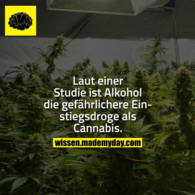 Laut einer Studie ist Alkohol die gefährlichere Einstiegsdroge als Cannabis.