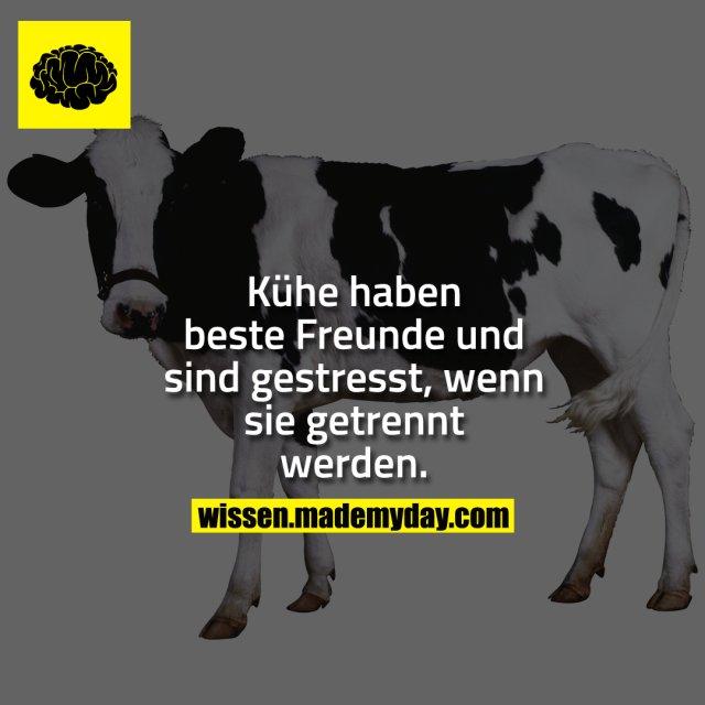 Kühe haben beste Freunde und sind gestresst, wenn sie getrennt werden.