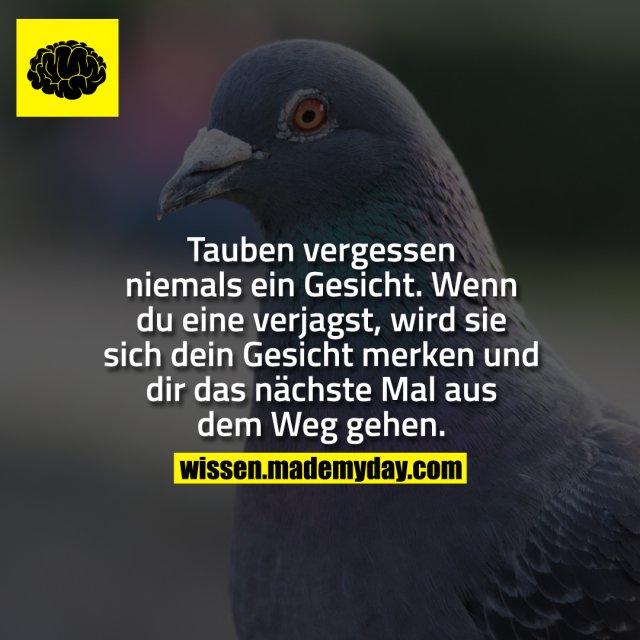 Tauben vergessen niemals ein gesicht. wenn du eine verjagst, wird sie sich dein Gesicht merken und dir das nächste Mal aus dem Weg gehen.