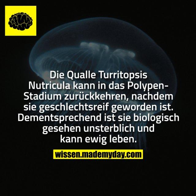Die Qualle Turritopsis Nutricula kann in das Polypen-Stadium zurückkehren, nachdem sie geschlechtsreif geworden ist. Dementsprechend ist sie biologisch gesehen unsterblich und kann ewig leben.