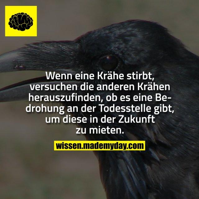 Wenn eine Krähe stirbt, versuchen die anderen Krähen herauszufinden, ob es eine Bedrohung an der Todesstelle gibt, um diese in der Zukunft zu mieten.