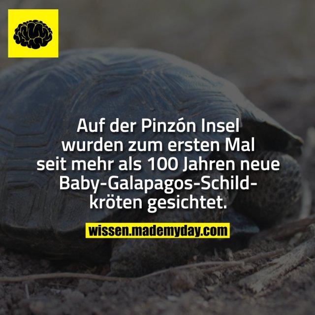 Auf der Pinzón Insel wurden zum ersten Mal seit mehr als 100 Jahren neue Baby-Galapagos-Schildkröten gesichtet.