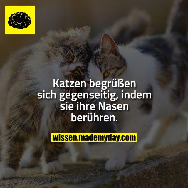 Katzen begrüßen sich gegenseitig, indem sie ihre Nasen berühren.