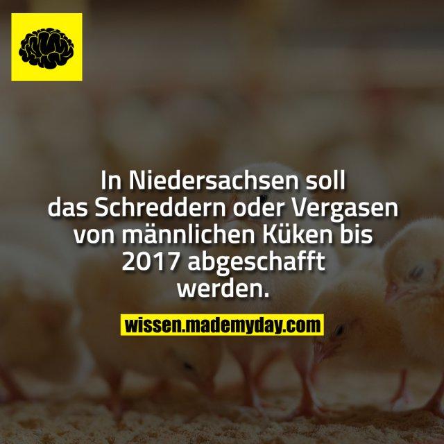 In Niedersachsen soll das Schreddern oder Vergasen von männlichen Küken bis 2017 abgeschafft werden.
