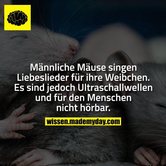 Männliche Mäuse singen Liebeslieder für ihre Weibchen. Es sind jedoch Ultraschallwellen und für den Menschen nicht hörbar.