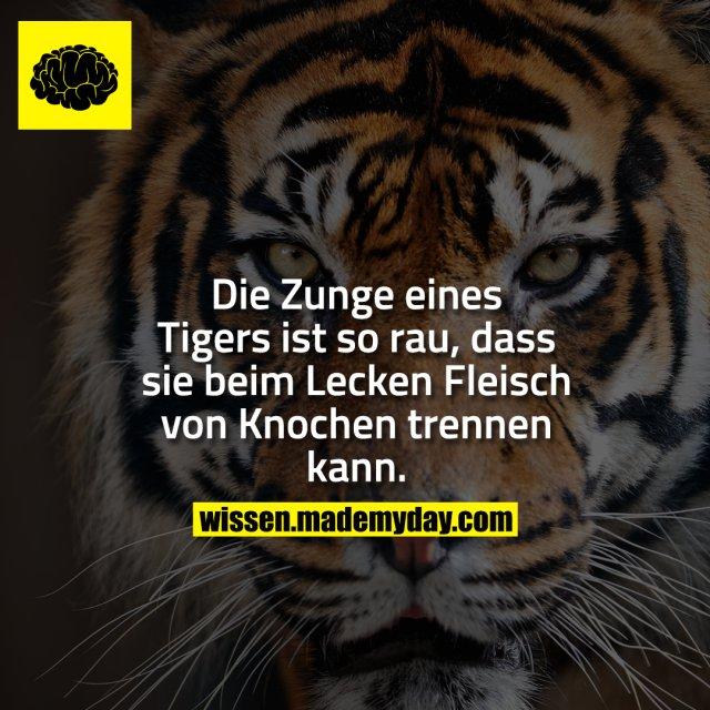 Die Zunge eines Tigers ist so rau, dass sie beim Lecken Fleisch von Knochen trennen kann.