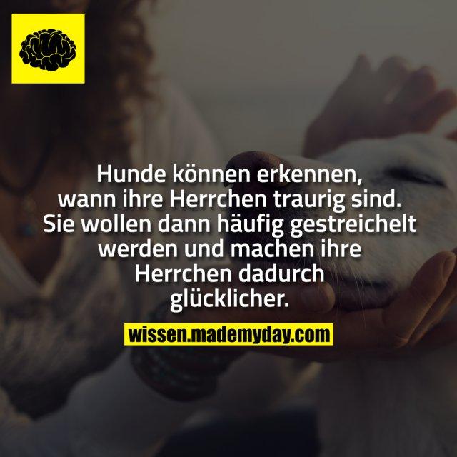 Hunde können erkennen, wann ihre Herrchen traurig sind. Sie wollen dann häufig gestreichelt werden und machen ihre Herrchen dadurch glücklicher.