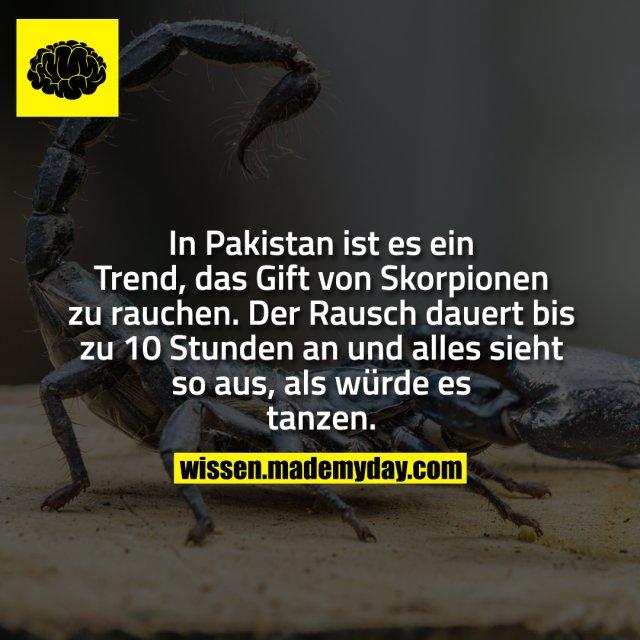 In Pakistan ist es ein Trend, das Gift von Skorpionen zu rauchen. Der Rausch dauert bis zu 10 Stunden an und alles sieht so aus, als würde es tanzen.